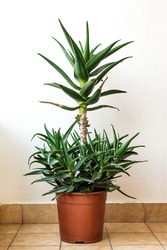 Aloe vera tree in pot against white wall, with a lot of offshoots rising up from the pot. Beautiful green aloe succulent potted plant. Alternative treatment - Healthy floral decoration used in beauty