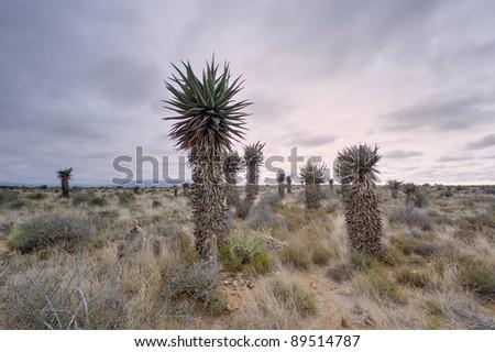 aloes in the karoo,graaf reinet,eastern cape,south africa
