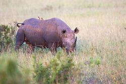Alone Black rhino on a savanna in Africa