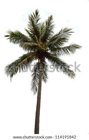 Alone coconut tree on white isolate background