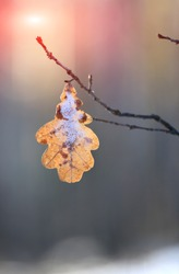 alone frozen oak leaf on twig against sunshine in winter forest