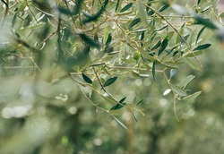 Alone green olive on the olive tree branch with unfocused blurred background with green foliage and bright morning dew drops on the leaves. Eco food and a Mediterranean agriculture concept image