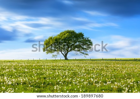 Alone Old oak tree on dandelion meadow with Blue cloudy Sky at spring in the Eifel germany #189897680