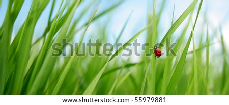 Alone red ladybird in grass