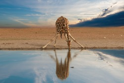 Alone South African giraffe, Giraffa giraffa, drinking from waterhole against dramatic sky. Wildlife photography in Etosha pan, Namibia.