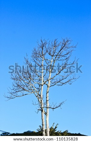 Alone tree and clear blue sky