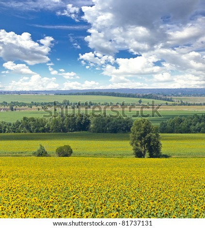 Alone tree and field of sunflowers. Summer landscape against the blue clear sky.