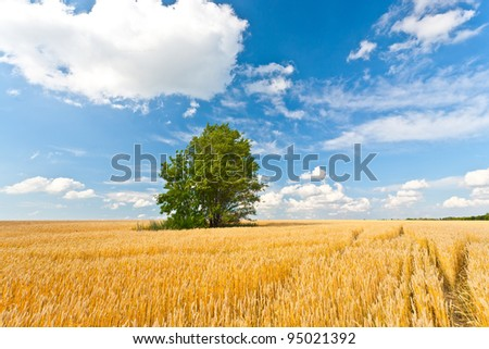 alone tree in wheat field over cloudy blue sky