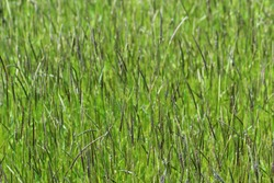 Alopecurus myosuroides is an annual grass, found on cultivated and waste land. It is also known as slender meadow foxtail, black-grass, twitch grass, and black twitch. Widespread and common weed
