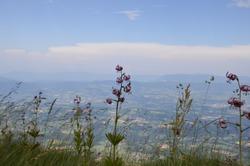 Alp flower pink - lis martagon