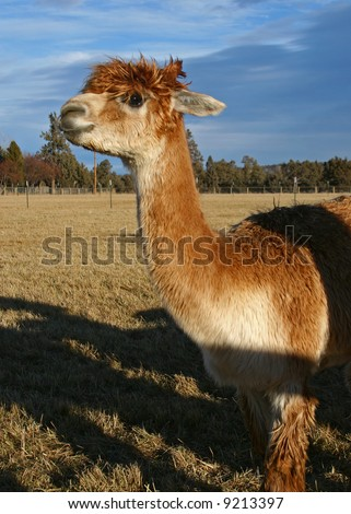alpaca against a brown field and cloudy sky