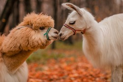 Alpaca and llama kiss. Exotic animals. Wildlife.
