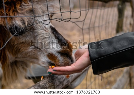 Alpaca at zoo eating from people's hand