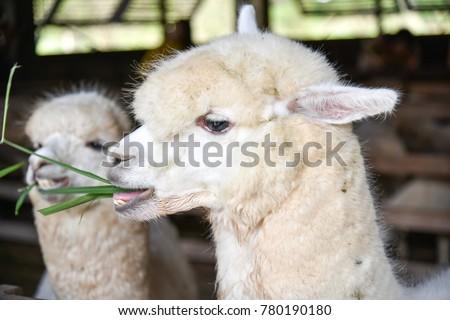 Alpaca chewing glass, feeding alpacas, alpaca funny face
