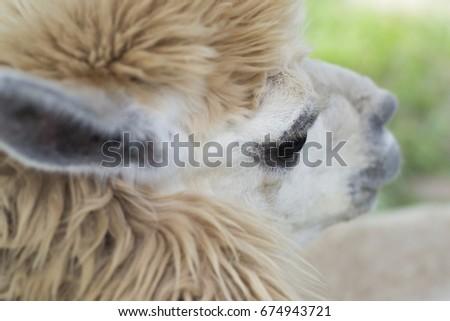 Alpaca face close up #674943721