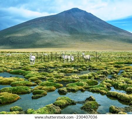 Alpaca family grazing in the desert plateau of the Altiplano, Bolivia