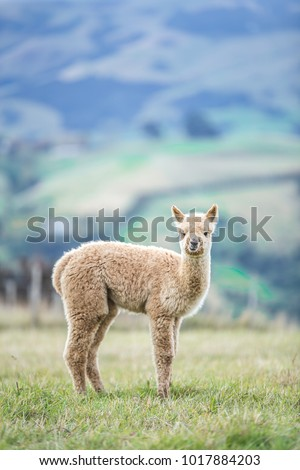 Alpaca farm is located on a mountain. The farm offers breathtaking panoramic views. Alpacas are kept in herds that graze on the level heights and are similar to llamas. They have been domestic. #1017884203