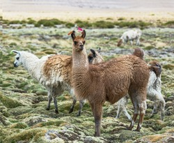 Alpaca herd grazing in the desert plateau of the Altiplano, Bolivia