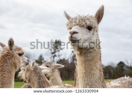 Alpaca in a farm during a cloudy day. #1263330904