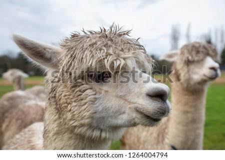 Alpaca in a farm during a cloudy day. #1264004794