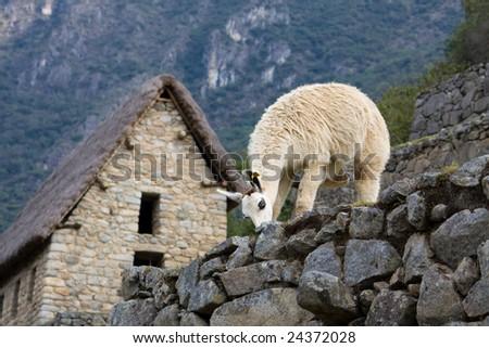 Alpaca in The Lost Incan City of Machu Picchu, Peru