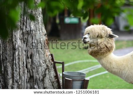 alpaca in the park