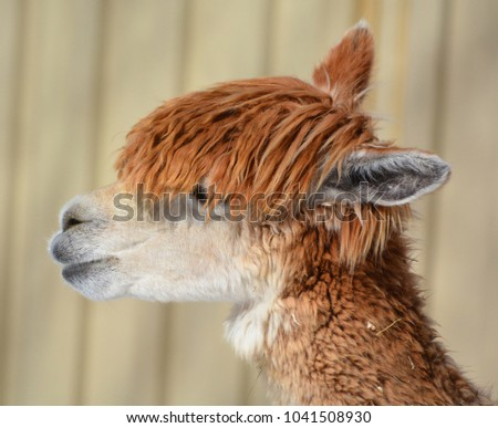 Stock Photo Alpaca is a domesticated species of South American camelid. It resembles a small llama in appearance.Alpacas are kept in herds that graze on the level heights of the Andes of southern Peru