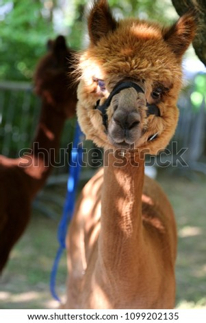 Alpaca is a domesticated species of South American camelid, similar to the llama