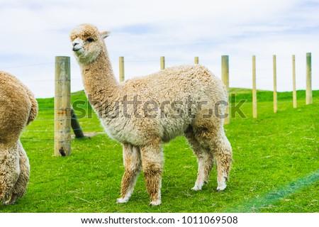 Alpaca on green field