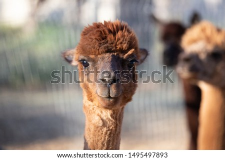 alpaca portraits: sweet, funny face collection for animal lovers