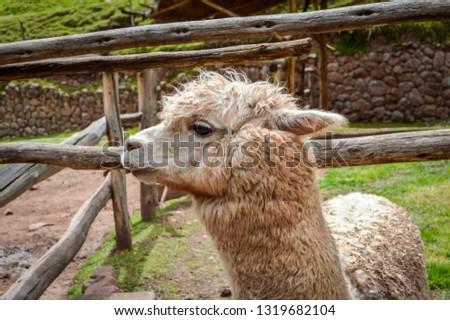 Alpaca Profile Picture