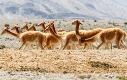 alpaca running llama fur vicuna peru ecuador landscape south groups america animal heard of vicugna or vicuna a camelid specie typical to the andes hill in south america alpaca running llama fur vicun