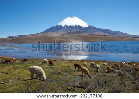 Alpaca\'s grazing on the shore of Lake Chungara at the base of Parinacota Volcano, 6,324m high, in the Altiplano of northern Chile.