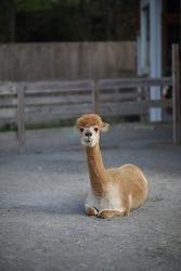 Alpaca sitting and staring at the camera