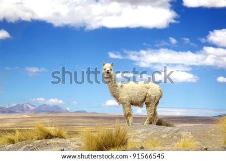Alpaca standing against blue sky