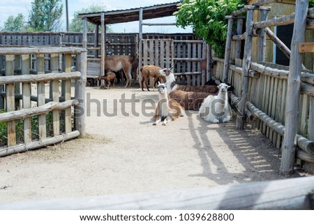 Stock Photo Alpaca, the lama looks at visitors through the fence of the zoo. Life in captivity.