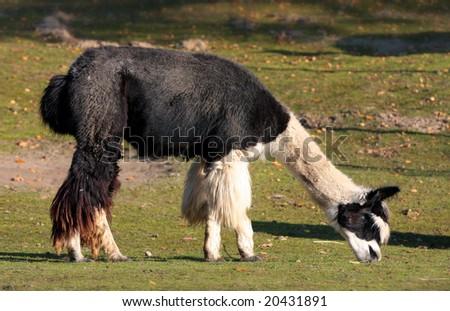 Alpaca (Vicugna pacos syn. Lama pacos)
