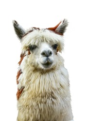 Alpaca whispering at another Alpaca's ear against white background. This has clipping path. It is South American camelid southern Peru western Bolivia, Ecuador, and northern Chile