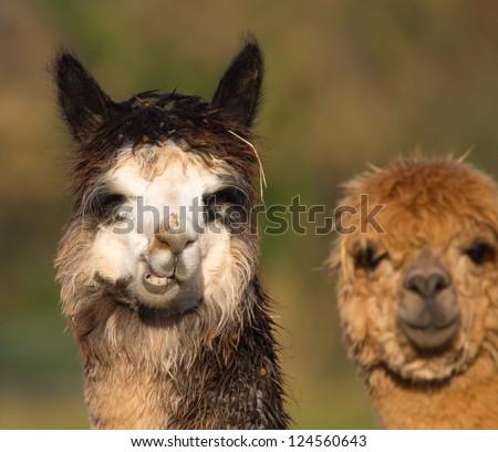 1000  images about Alpaca// llama on Pinterest   Clip art, Salts ...