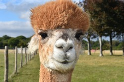 Alpacas are New World camelids alike small llamas or long-necked camels without the humps especially when sheared They have shaggy necks camel-like faces with thick lips pronounced noses and long ears