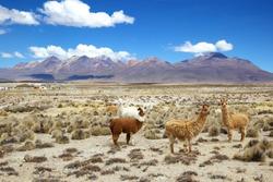 Alpacas at  Andes