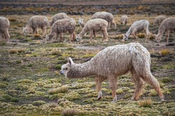 Alpacas eating grass in middle of mountain valley of Colca region, Peru. Southamerican landscape and fauna. Pasture and feed