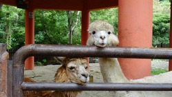 Alpacas looking at camera in the farm. The alpaca is a species of South American camelid mammal.