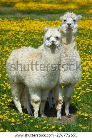 Alpacas on the yellow meadow,