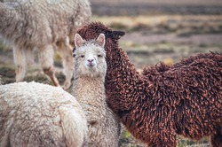 Alpacas, one looking at camera, in middle of mountain valley of Colca region, Peru. Southamerican landscape and fauna