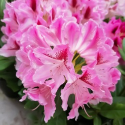 Alpen rose: a species of Azaleas, also known as Snow rose,Rusty leaved alpenrose, Alpine rose, its botanical name is Rhododendron ferrugineum.