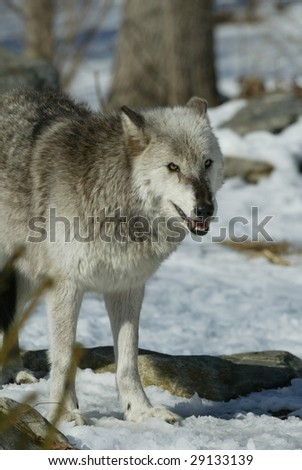 Alpha Female Gray Wolf