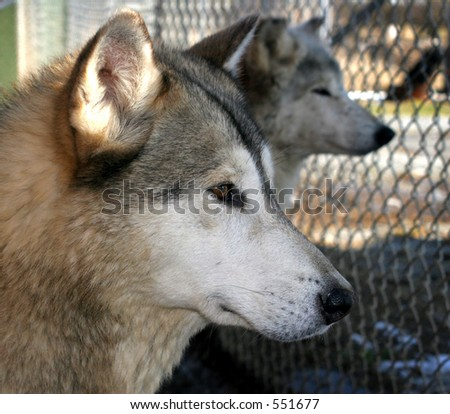 Alpha Female Grey Wolf in captivity