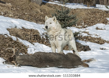 Alpha female of wolf pack over prey