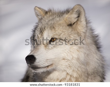 Alpha male arctic wolf watching in snow
